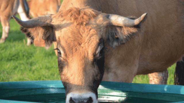 Água para gado de boa qualidade evita a perda de peso