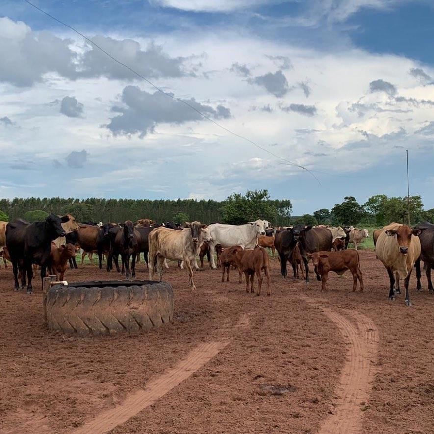 Acesso à água limpa é fundamental para evitar o botulismo bovino. Foto: Fernando Rubbertank