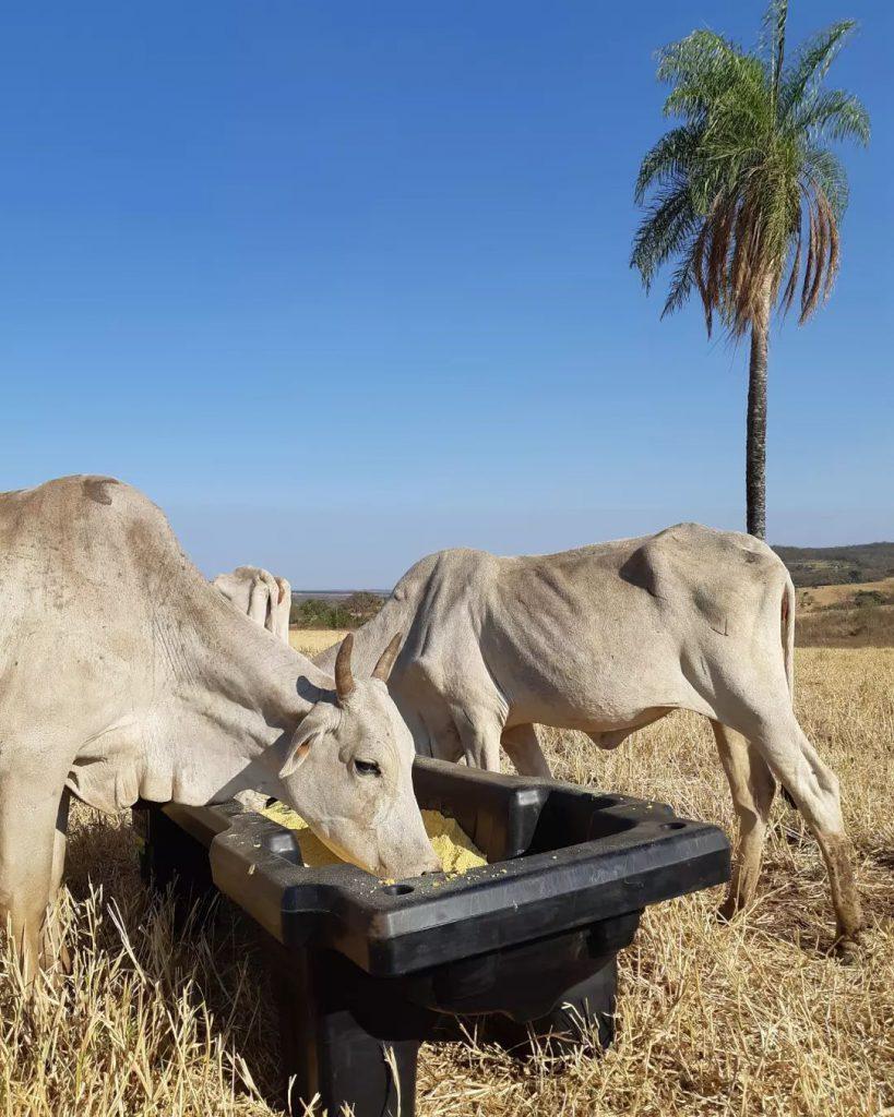Suplementação no cocho favorece a prevenção do botulismo bovino. Foto: Campo Fácil.