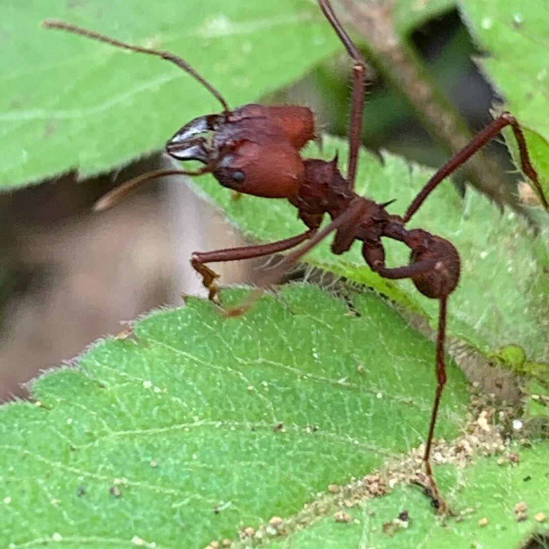 Como eliminar formigas cortadeiras