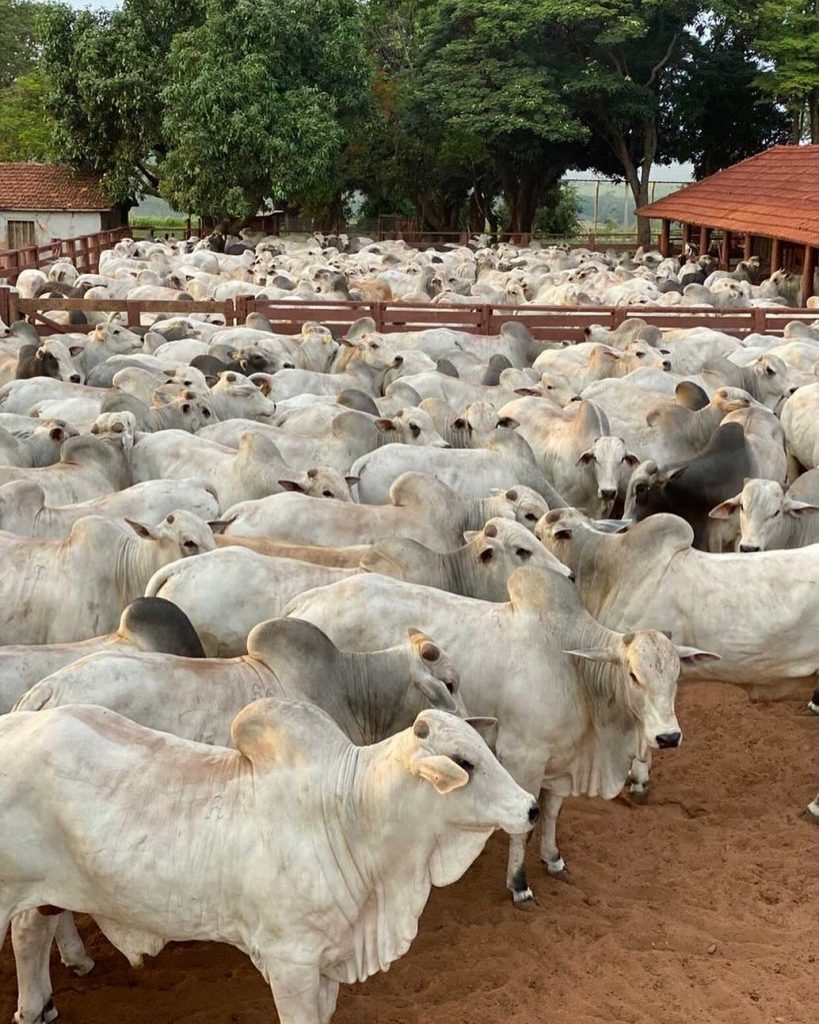 Faça todo o processo de fechar o gado para vacinação contra a aftosa com cuidado e sem violência.