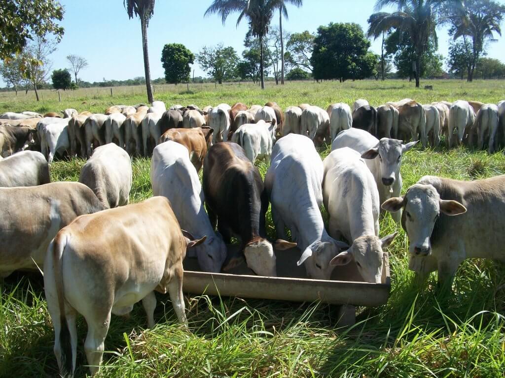 Alimentação gado de corte: o que oferecer nas primeiras chuvas?