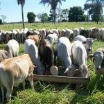Alimentação do gado de corte nas primeiras chuvas