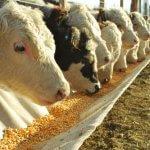 Milho para gado: formas de consumo
