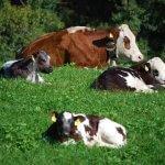 Cruzamento de vacas leiteiras