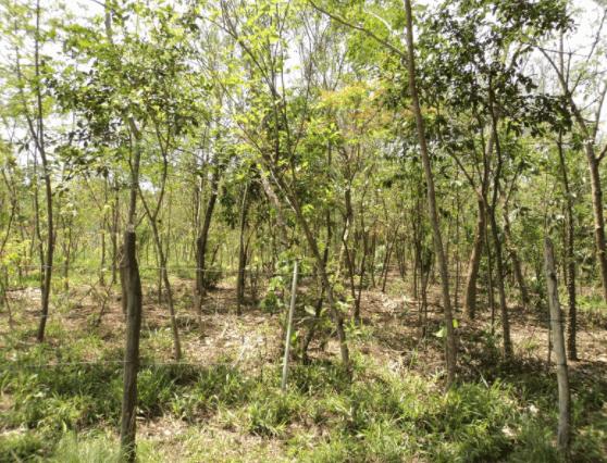 Sistema agroflorestal para bovinos