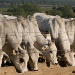 Confinamento bovino tem bons resultados