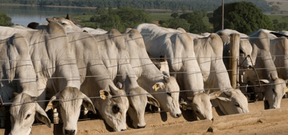 Confinamento de bovinos precisa seguir regras para bom resultado