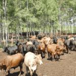 Confinamento de gado em pequenas propriedades