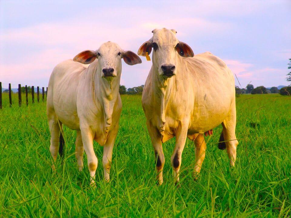 Homeopatia para gado funciona?