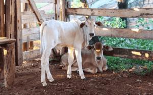Qual a melhor época para o nascimento de bezerro?