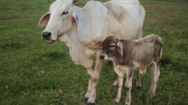 Nutrição para gado de leite: confira a receita