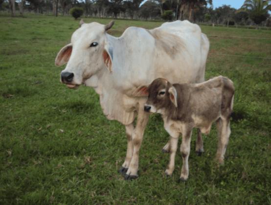 Nutrição para gado de leite é fundamental para boa produtividade