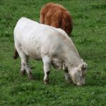 Reprodução de bovinos: primeira monta de novilhas