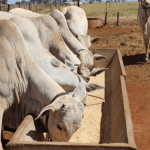 Sal mineral: quantidade ideal de para os bovinos
