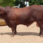 Quantos touros por vaca na monta natural?