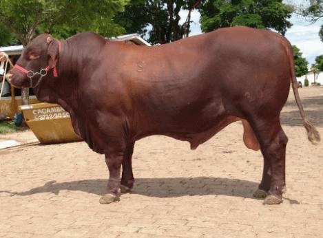 quantos touros por vaca