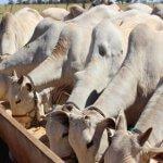 Consumo de sal proteinado por bovinos: quantidade