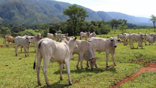 Ração para recria: gado de corte