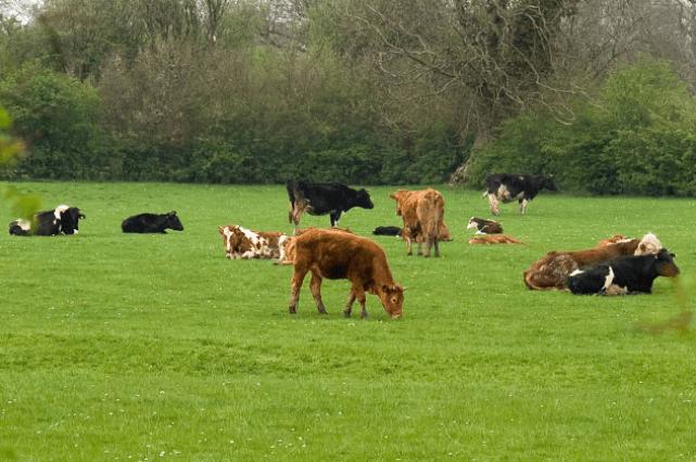 Soro caseiro para bovinos evita sofrimento e auxilia no bem-estar animal