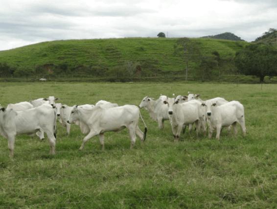 Usada com cautela, ureia para bovinos promove bons resultados