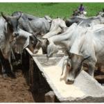 Sal mineral para bovinos: como fazer?