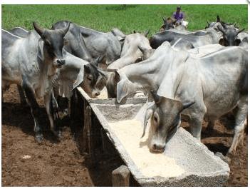 Sal mineral para bovinos como fazer? Vale a pena?