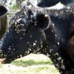 Verruga em gado da figueira: saiba como eliminá-las