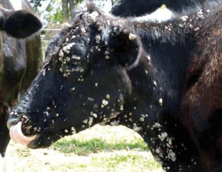 verruga em gado
