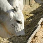 Como oferecer concentrado para bovinos