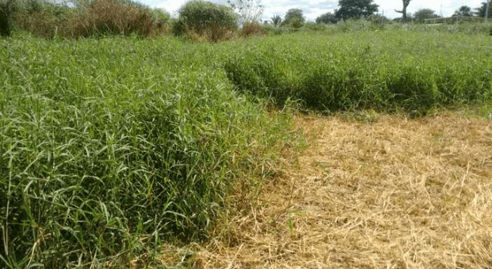 Técnica do feno em pé garante boa nutrição na seca