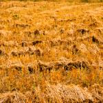 Manejo de pasto no período da seca