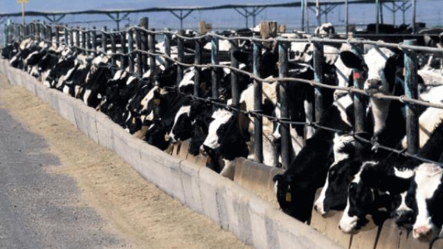 Raças de gado de corte para confinamento