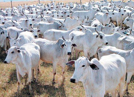 Sal proteinado para bovinos na seca
