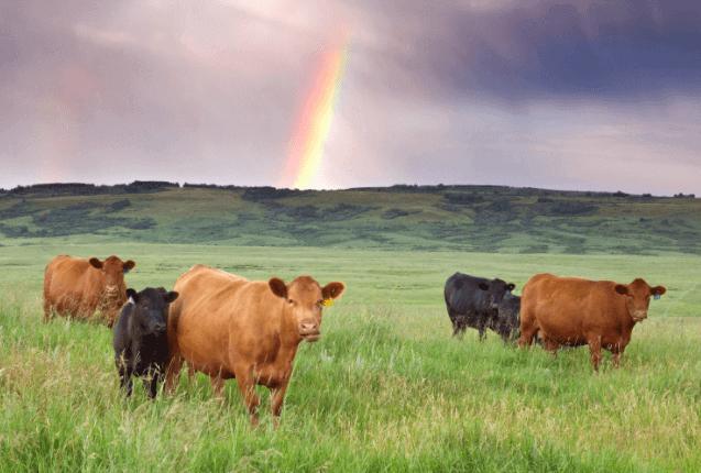 Levar o gado faminto para o pasto antes de servir a ração é uma medida para prevenir a acidose ruminal