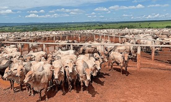 Alto grão ou silagem para gado: o melhor para confinamento