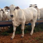 Como obter uma boa conversão alimentar de bovinos
