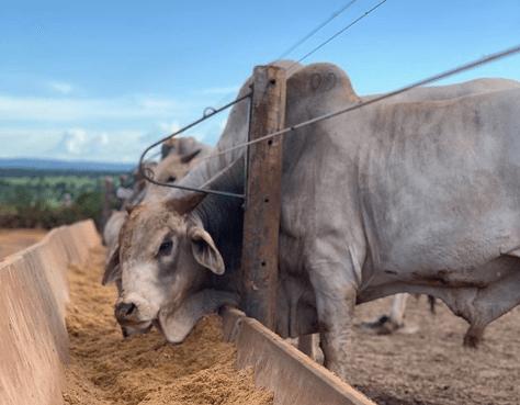 Qual a melhor raça de gado para confinamento?