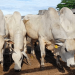 Como escolher a melhor ração para engordar gado?