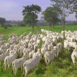Melhor peso e idade para abate de bovinos