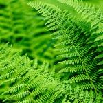 O perigo das plantas tóxicas na pecuária