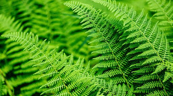 Samambaia é classificadas entre as plantas tóxicas na pecuária