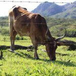 Terceirizar a engorda de bovinos vale a pena?