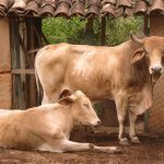 Vaca ou boi: qual é melhor para engorda?