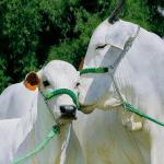 Posso dar v-max virginiamicina para vacas prenhes?