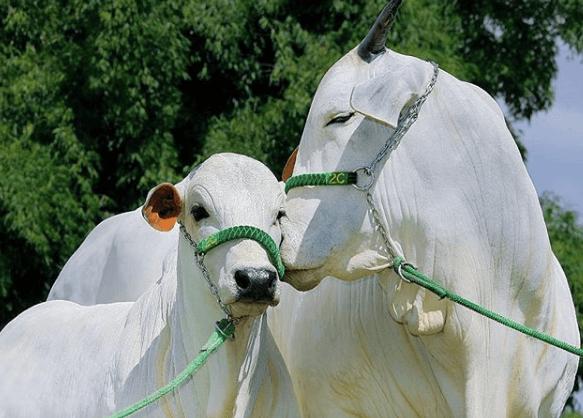 Posso dar v-max virginiamicina para vacas prenhas?