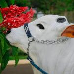Como fazer sal proteinado para o gado: a receita