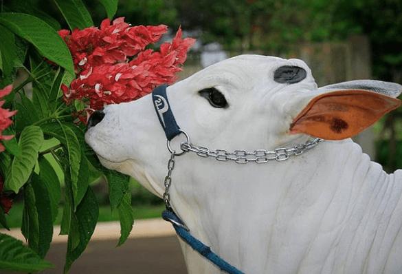 Como fazer sal proteinado para o gado: confira a receita