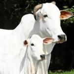 Tempo de lactação da vaca leiteira