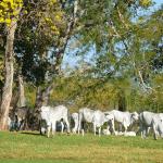 Sal proteinado para gado na seca: quando iniciar